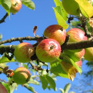 apple-tree-apples-colorful-54629